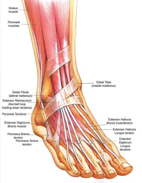 One aspect of normal foot alignment, with regard to the bony anatomy ...