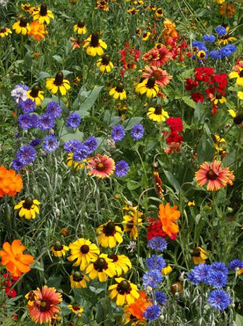 Google Image Result for http://www.2bseeds.com/images/southeastwildflowermix.jpg