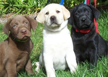Black Chocolate Yellow Gorgeous Puppies Pet News Labrador Retriever Pets