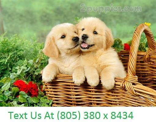 Find Your Dream Puppy Of The Right Dog Breed At 2puppiescom