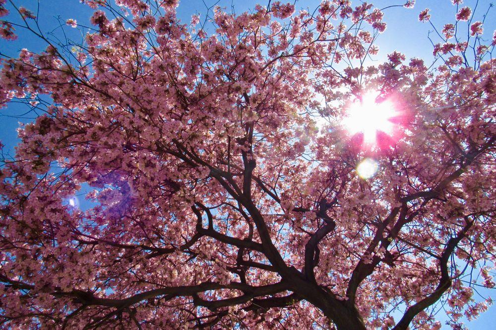 Pink Cherry Blossom Tree Mini Art Print By Cassie Rae Without Stand 3 X 4 Pink Blossom Tree Mini Art Blossom Trees