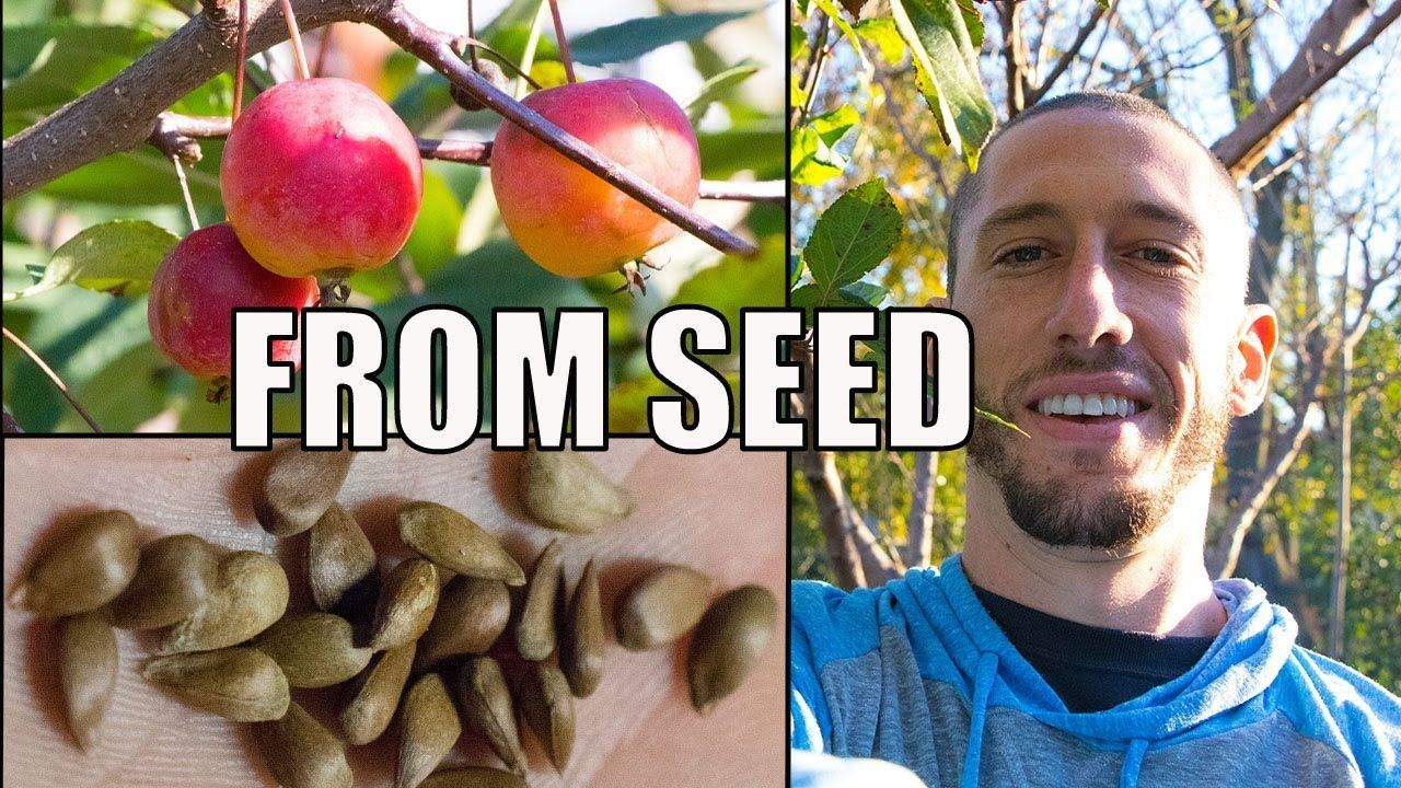 How To Grow An Apple Tree From SEED to FRUIT 🍎! In 3 YEARS