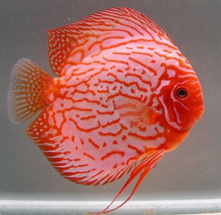 Pin By Ron Beck Designs On Freshwater Aquarium Fish Saltwater Fish Discus Fish Cool Fish Tropical Fish