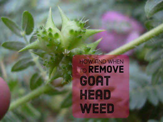 Getting Rid of Goat Head Weeds Seeds and Stickers Goats Yards