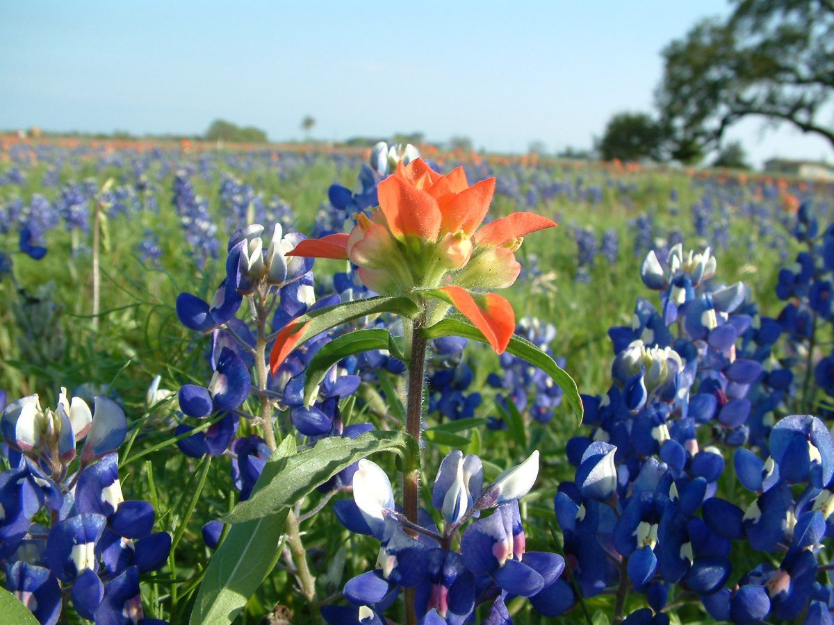 Indian Paint Brush, Texas Hill Country Reisen, San