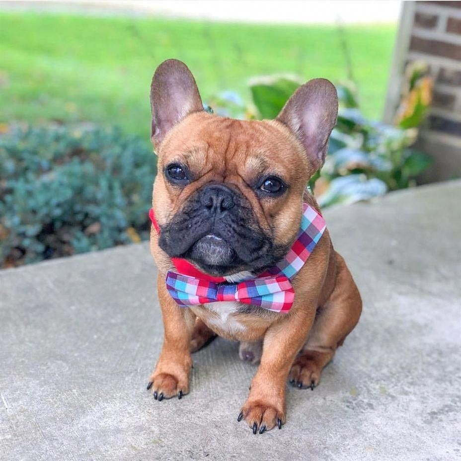 It S A Bow Tie Kind Of Day French Bulldog Puppy Beautiful Pets