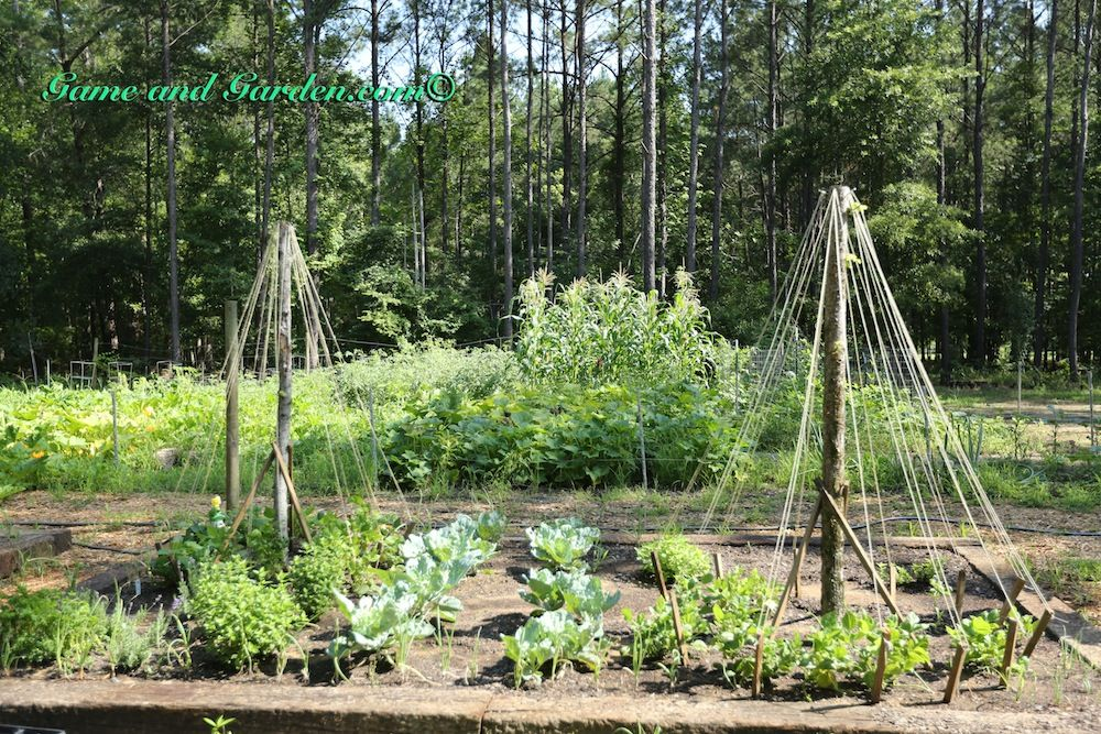 Container Cucumber Trellis Part - 36: Trellisu0027 Can Be Built Easily By Using Fallen Limbs And Tying Them Together  In The