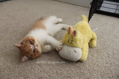 Pancake :) a male Red white Tabby Exotic Shorthair