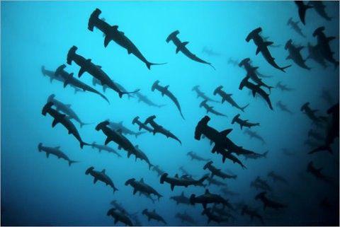 Hammer sharks. Lots of hammer sharks...