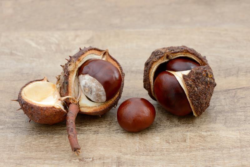 how to preserve buckeye nuts buckeye pinterest buckeyes