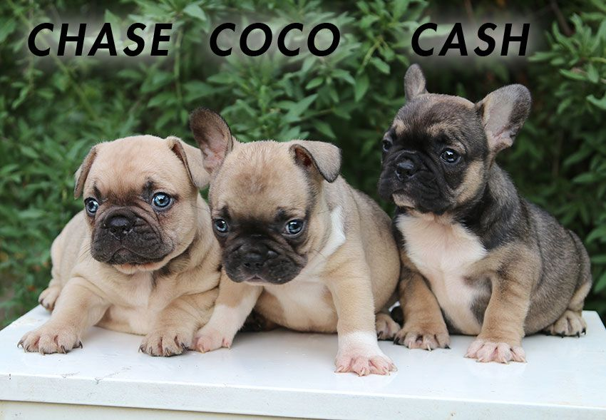 Puppy For Sale French Bulldog Puppy For Sale French Bulldog For