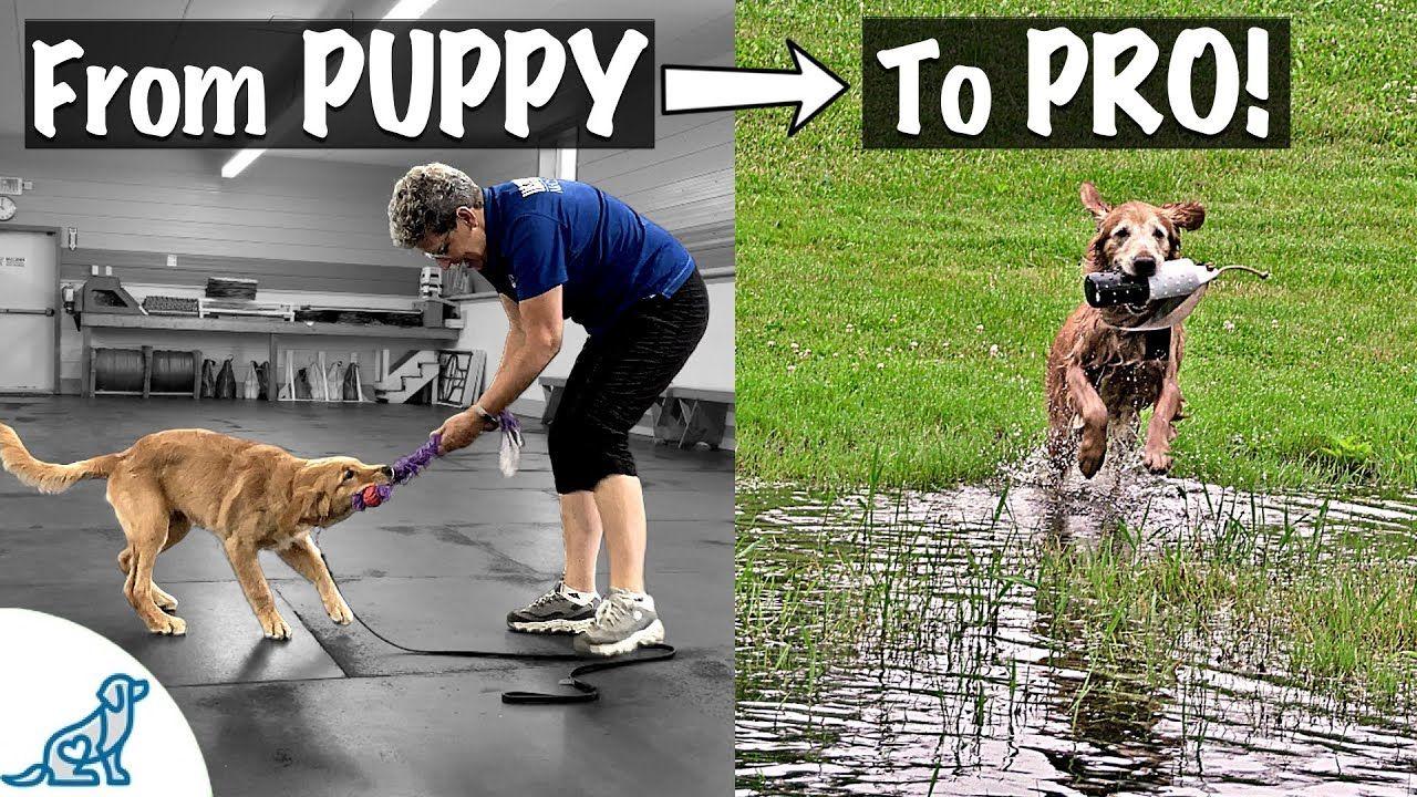 How To Train A Golden Retriever To Fetch Professional