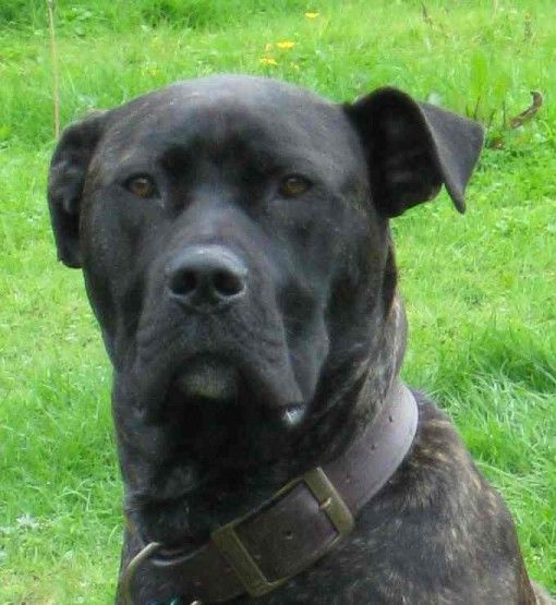 Mr Darcy 1 Year Old Male Bull Mastiff Cross Great Dane Available