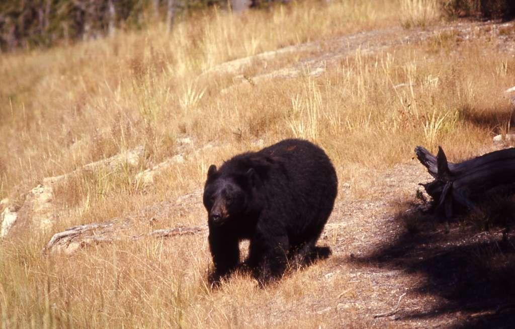 Black Bears Come Home To East Texas Black Bear Bear Male Bear