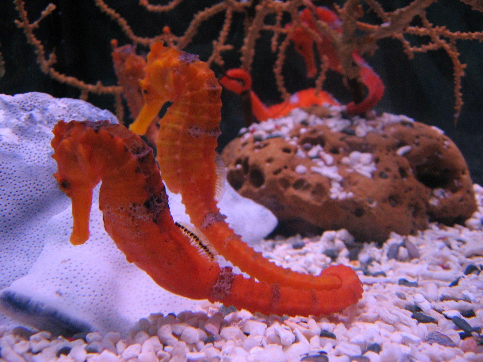 Caballitos de mar | Seahorses | Pinterest | Caballitos de mar ...