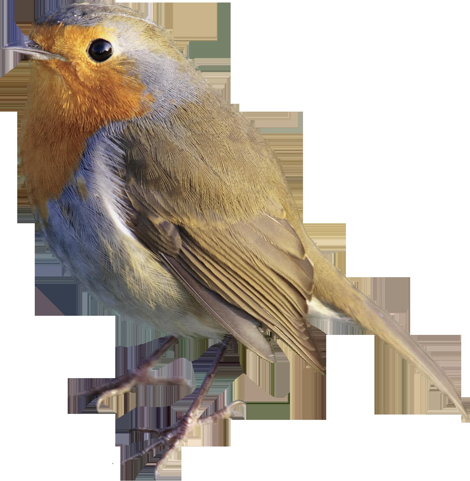 Pajaro Animals Photoshop Pics Robin Bird