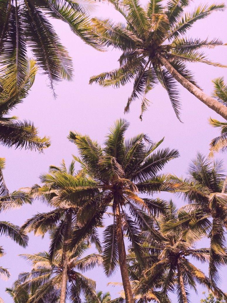 Pohon Kelapa Walur Langit Fotografi Dan Alam
