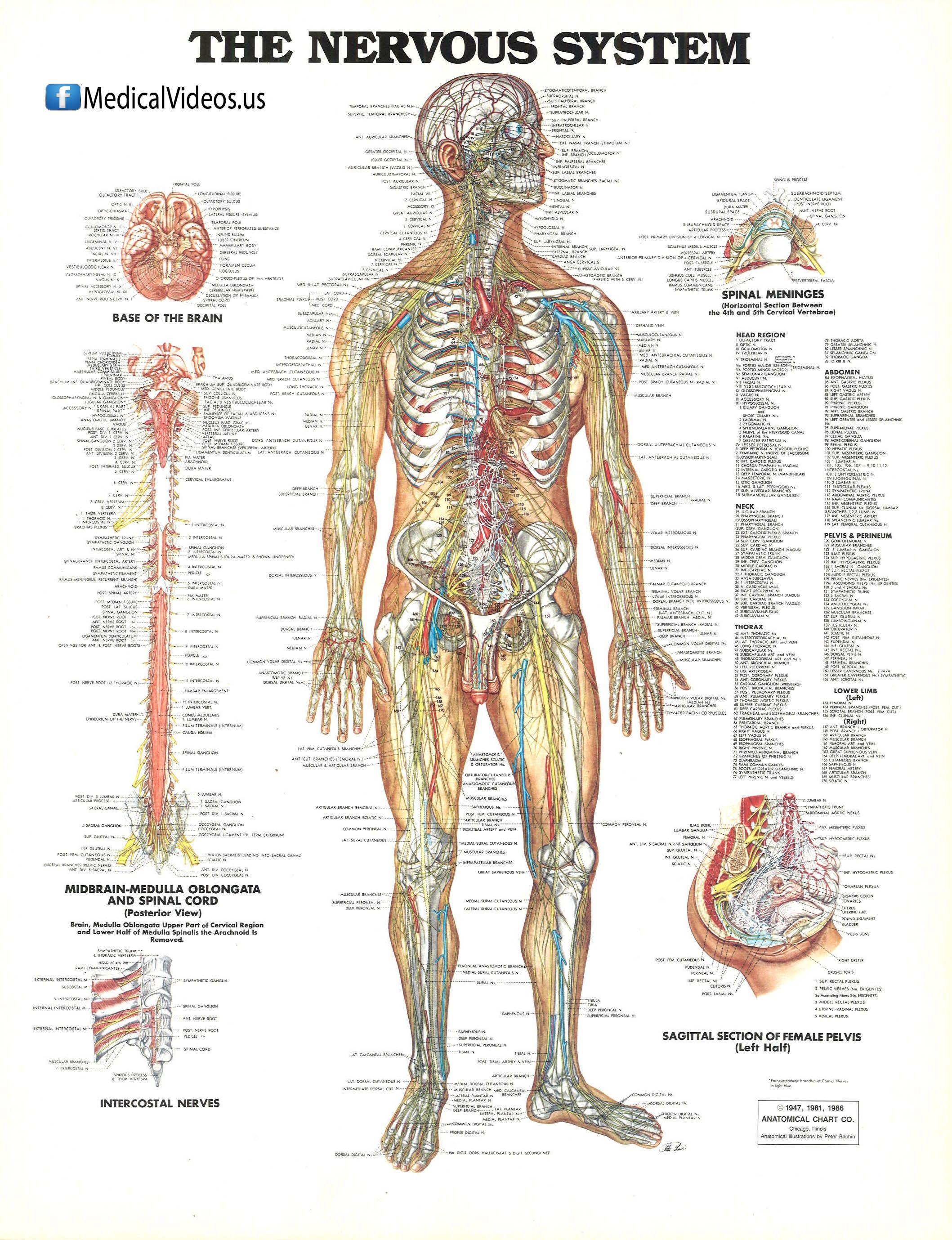 nervous-system | Medical | Pinterest | Nervous system and Medical