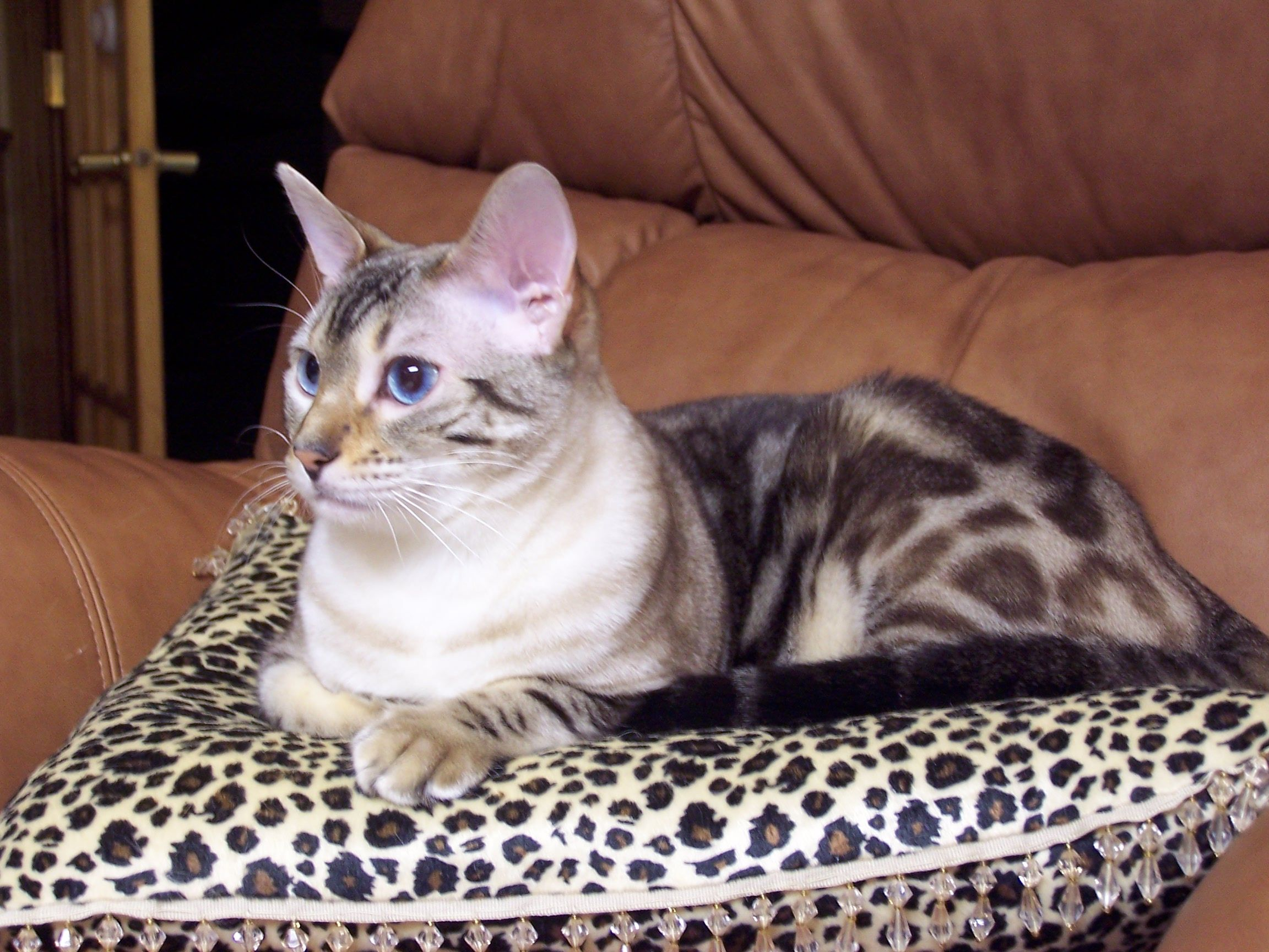 PERSONAL PICTURE This is my bengal cat named Kishi. He's
