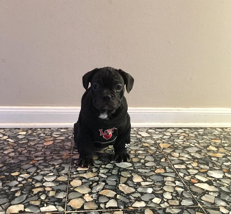 Ckc Reg Frenchtons Pup 8 Weeks Frenchieforsale Frenchie4sale