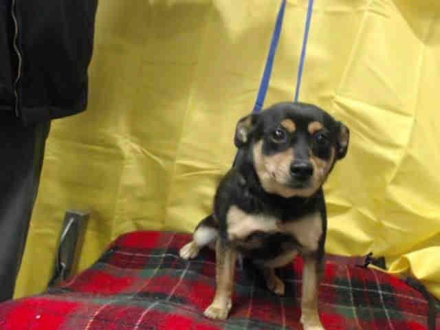 Super Urgent I Am A Neutered Male Black And Brown Chihuahua