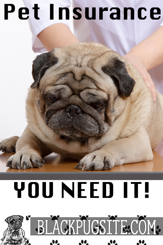 Do You Really Need Pug Pet Insurance And What To Look For Pugs