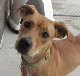 Adopt Sigourney On Petfinder Terrier Mix Dogs Labrador