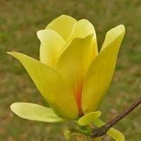 Znalezione obrazy dla zapytania magnolia krzew