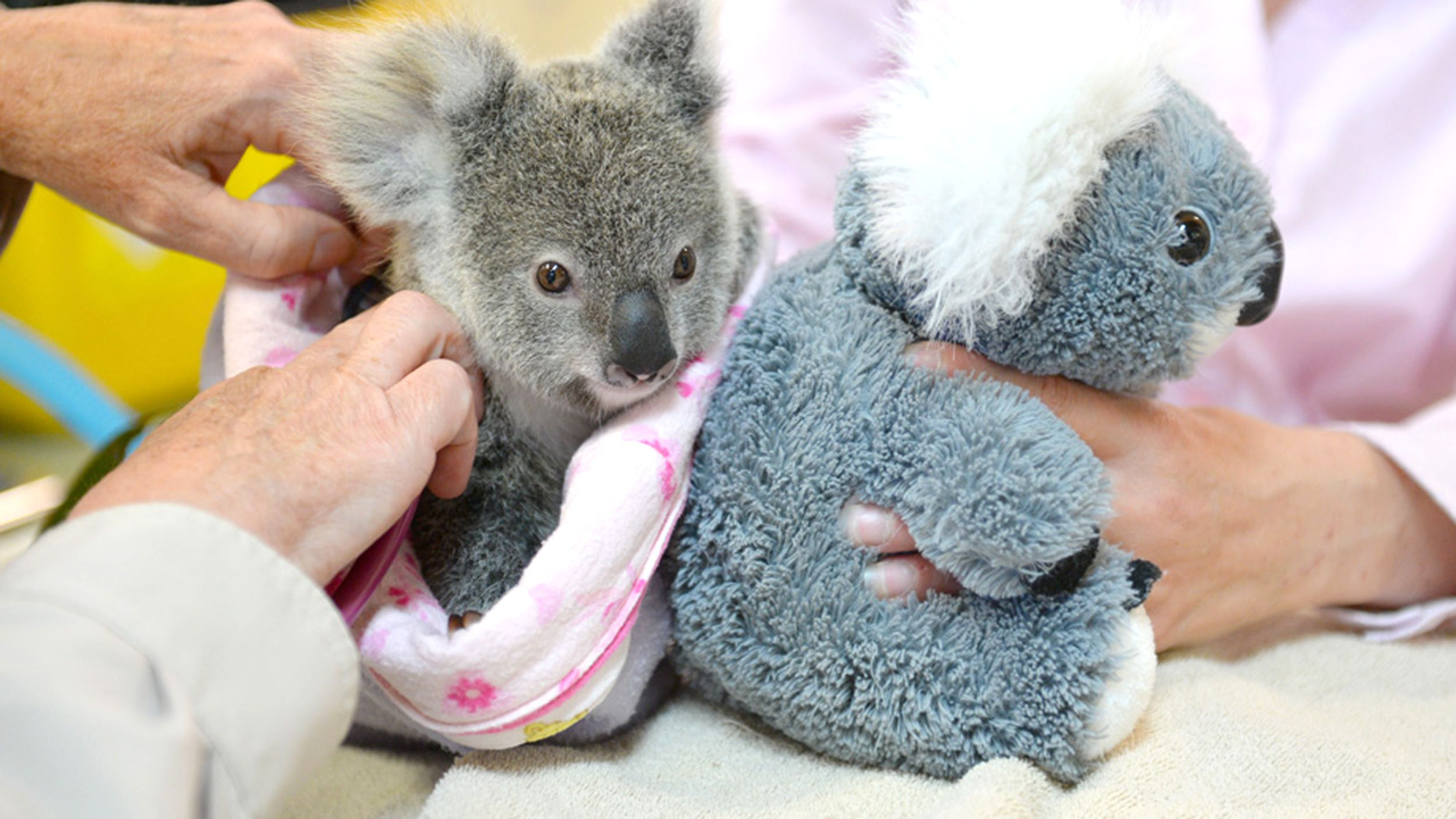 Orphaned Baby Koala Cuddles Stuffed Animal After Losing Mom Baby Koala Koala Cuddling