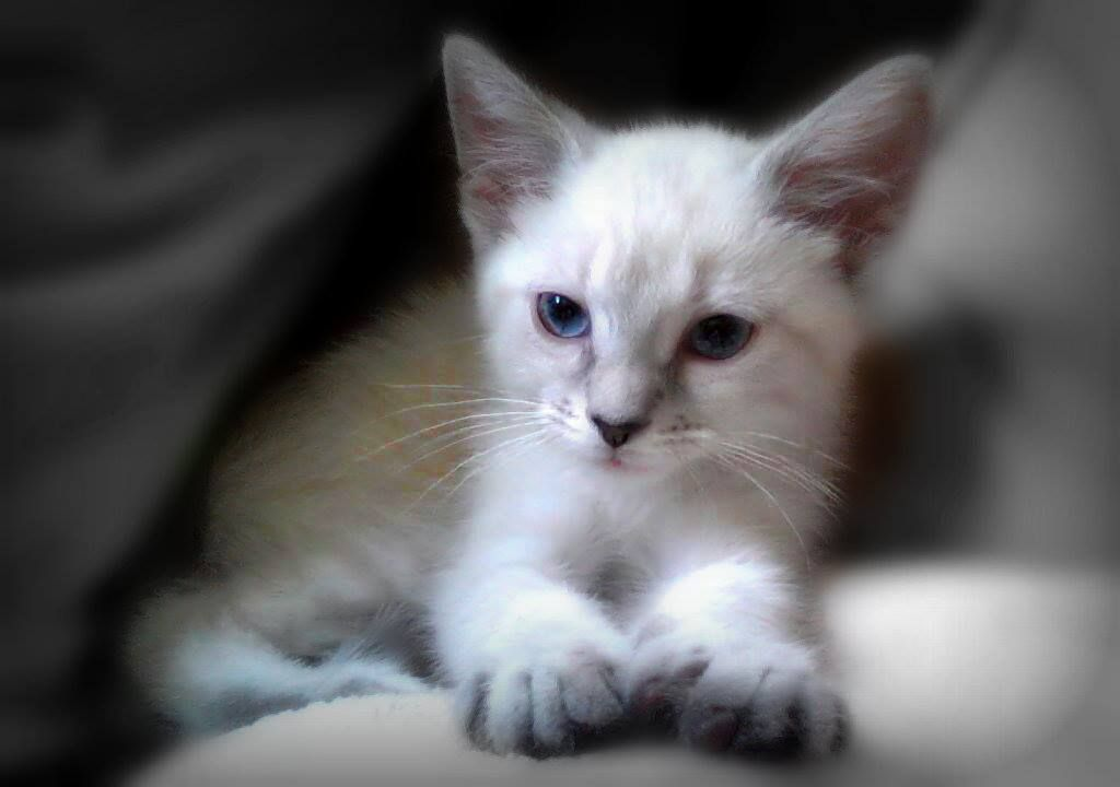 Siamese Orientals Cats Lilac Point Seal Tabby Silver Siamese Seal Point Flame Point Balinese And Tonkinese Balinese Cat Tabby Cat Kitten Love