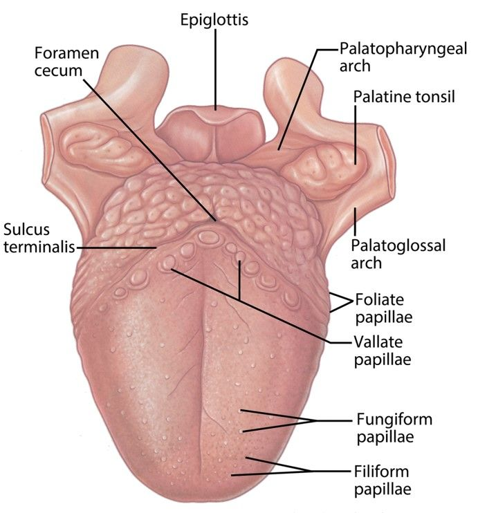 Summary Vallate Papillae Anatomy Pictures And Information