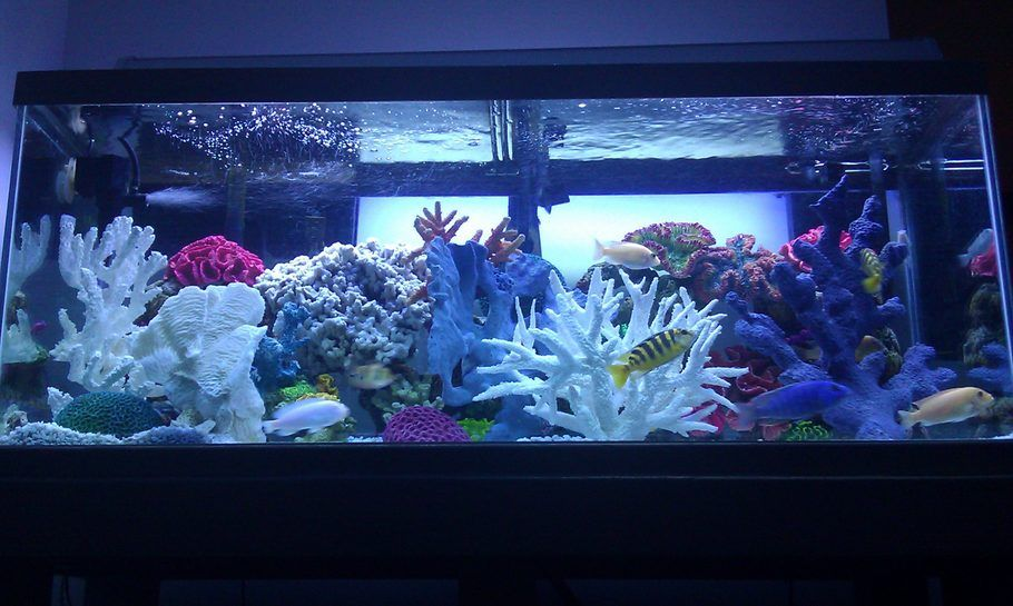 75 gallon freshwater african cichlid aquarium freshwater for 20 gallon saltwater fish tank
