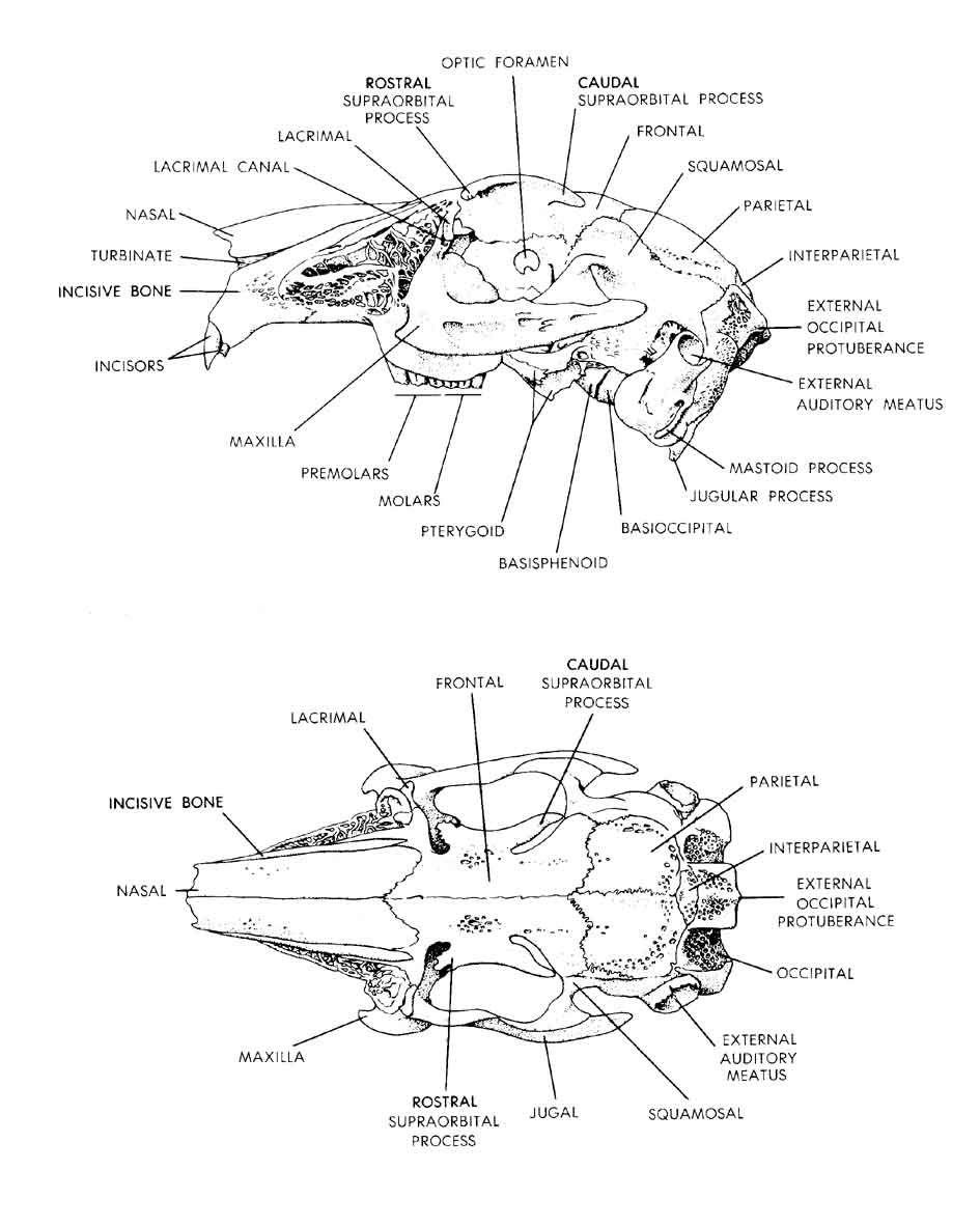 Anatomy of a rabbit