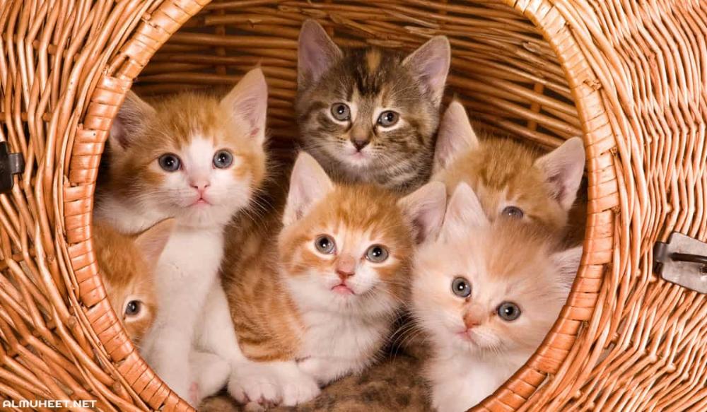 اسماء قطط اناث 2020 تعتبر القطط من اكثر الحيونات المقربة للانسان حيث انها تعتبر من الحيوانات الاليفة يربيها العديد Animals Kitten Free Online Jigsaw Puzzles