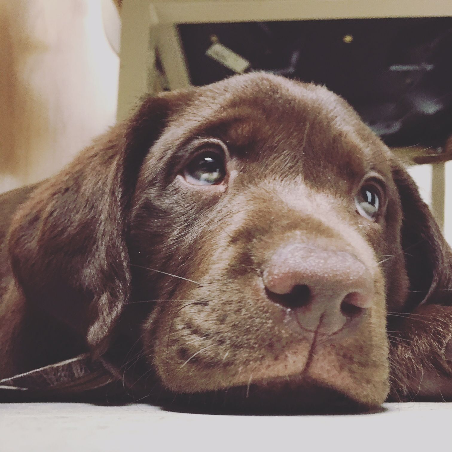 Chocolate Lab Baby Girl