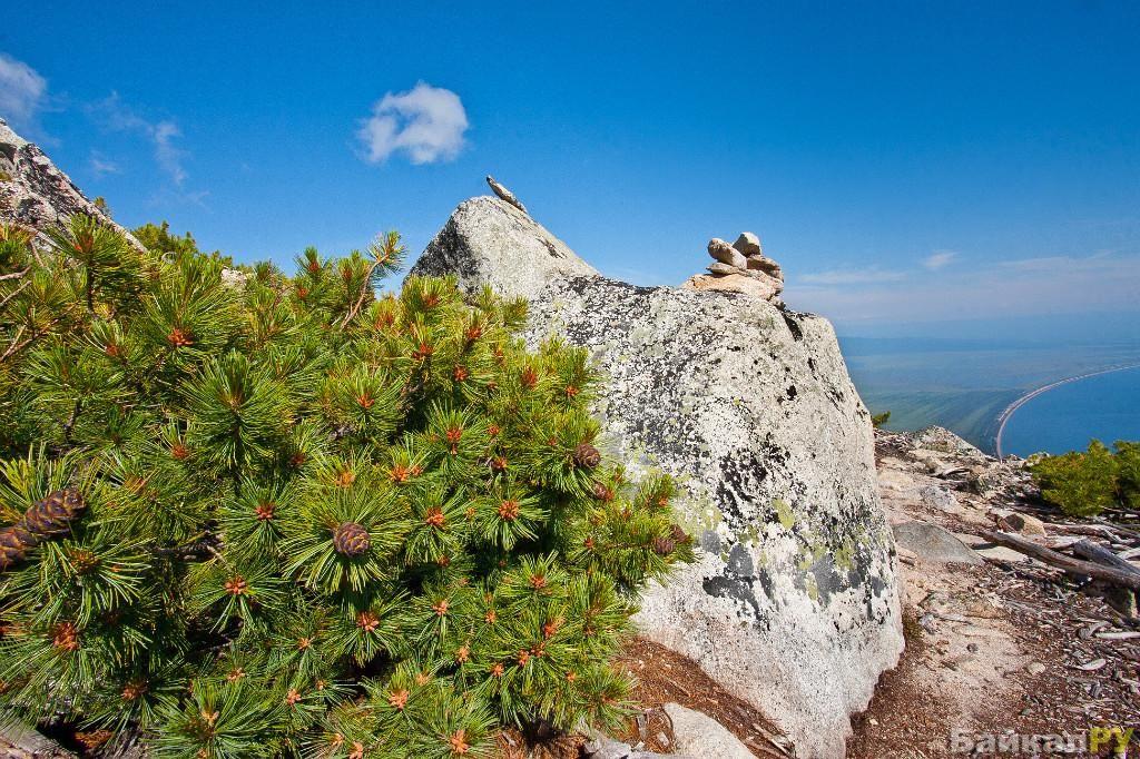 Фото Кедровый стланник — Байкал