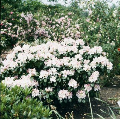 Naam Rhododendron Gomer Waterer Nederlandse Rododendronfamilie Ericaceaeherkomst Hybride Kruising Tussen R
