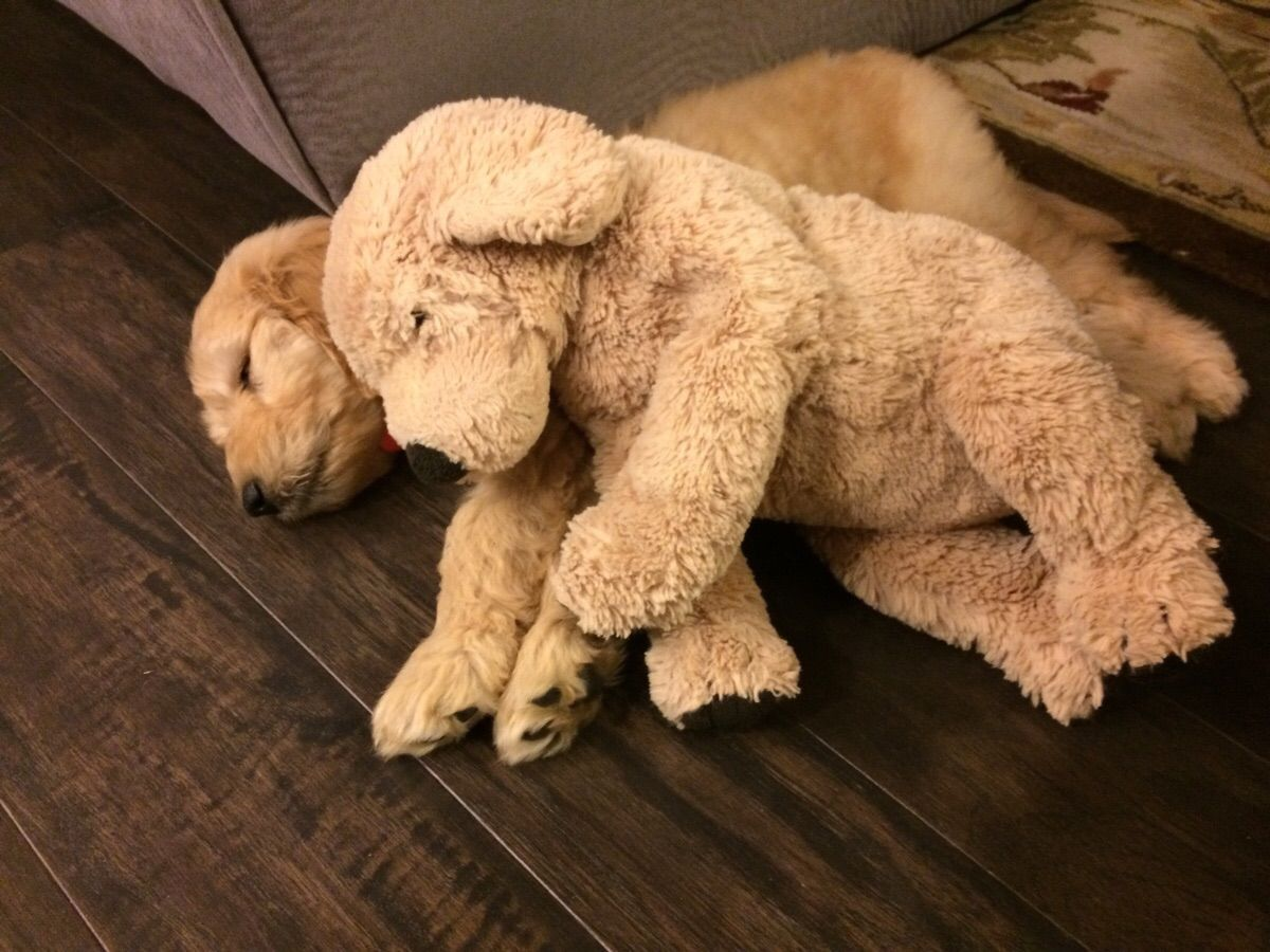 My young cousin's goldendoodle puppy sleeping next to a stuffed goldendoodle toy I gave him when he was a baby