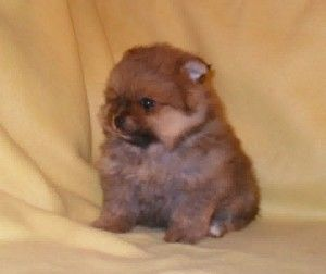 pomeranian puppies for sale in sacramento