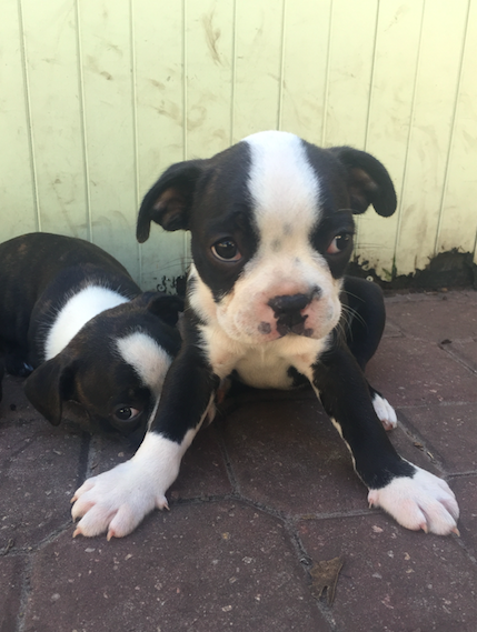 Boston Terrier puppy for sale in PALM COAST, FL. ADN48912