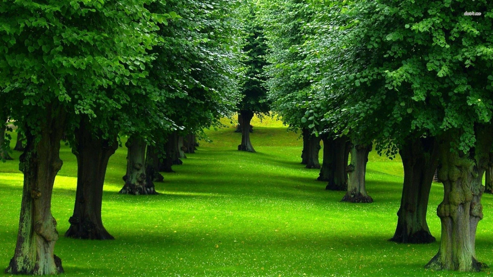 Rows Of Trees wallpapers HD free 442182 Nature tree