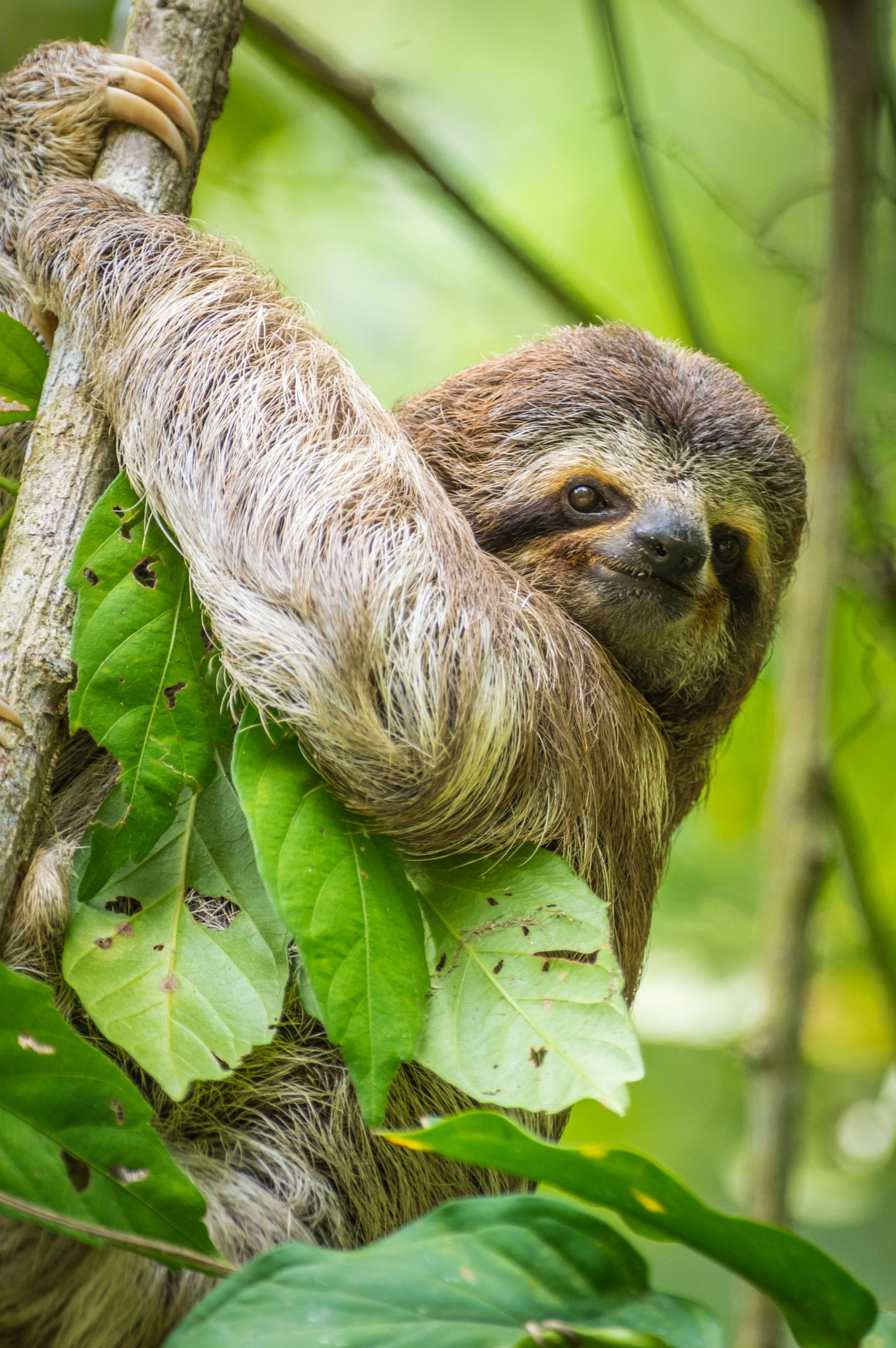 Baby 3 Toed Sloth Managed To Catch A Baby Sloth Coming Down A Tree