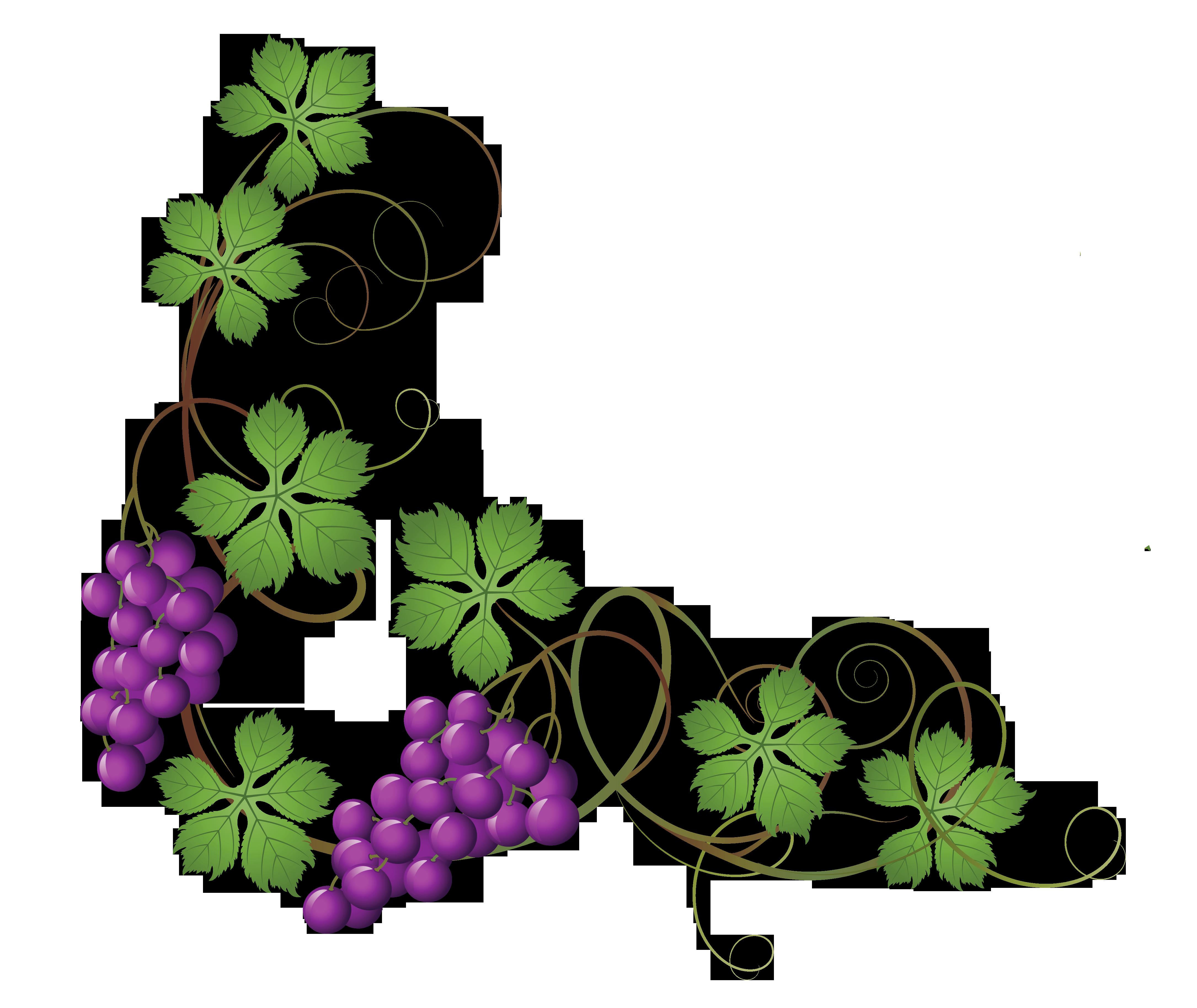 transparent vine decoration png clipart picture png 4340 3658 rh pinterest com grapevine pattern clipart grape vine clipart free