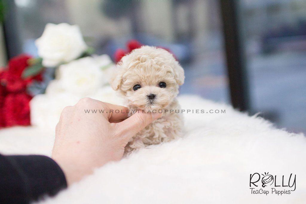 Sold To Oliveira Belle Poodle F Rolly Teacup Puppies