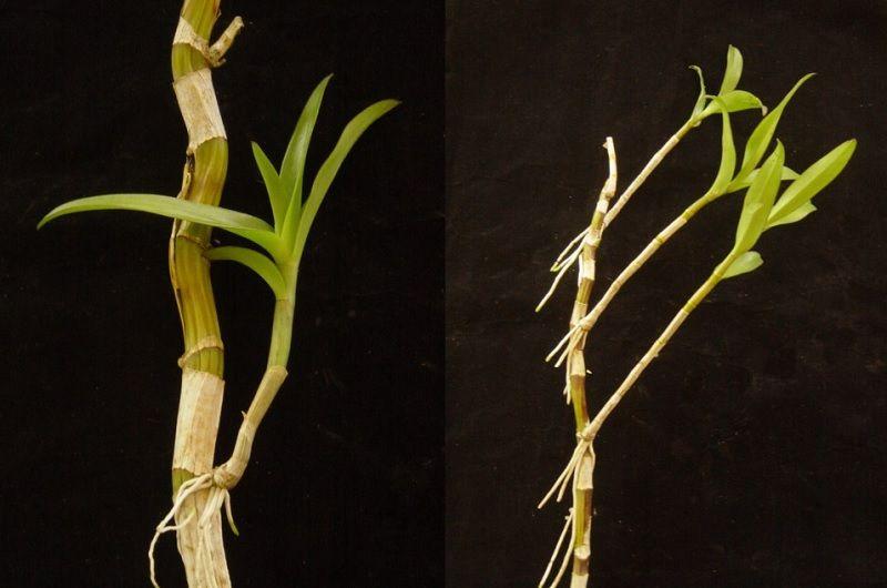 Como Se Reproducen Las Orquideas En Casa