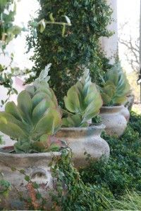 A row of potted Flapjacks (Kalanchoe thrysiflora) in a Chico garden - Desert garden - Potted succulents & cactus - Arid landscape