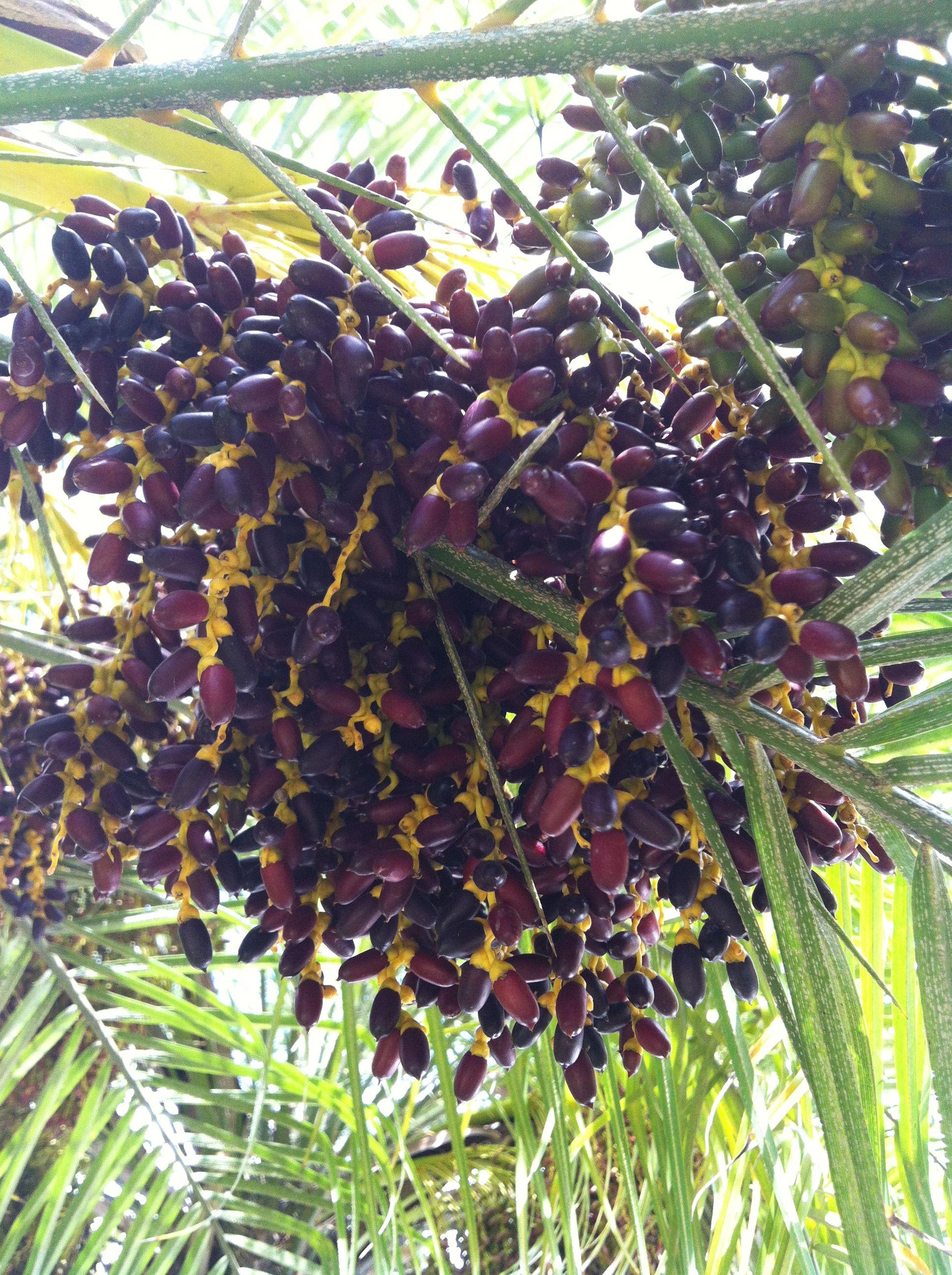 Racimo de semillas palmera tropical