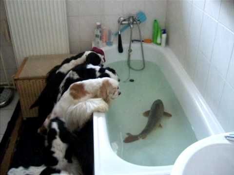 These Cocker Spaniels Are Wondering Why Is There A Carp In Their