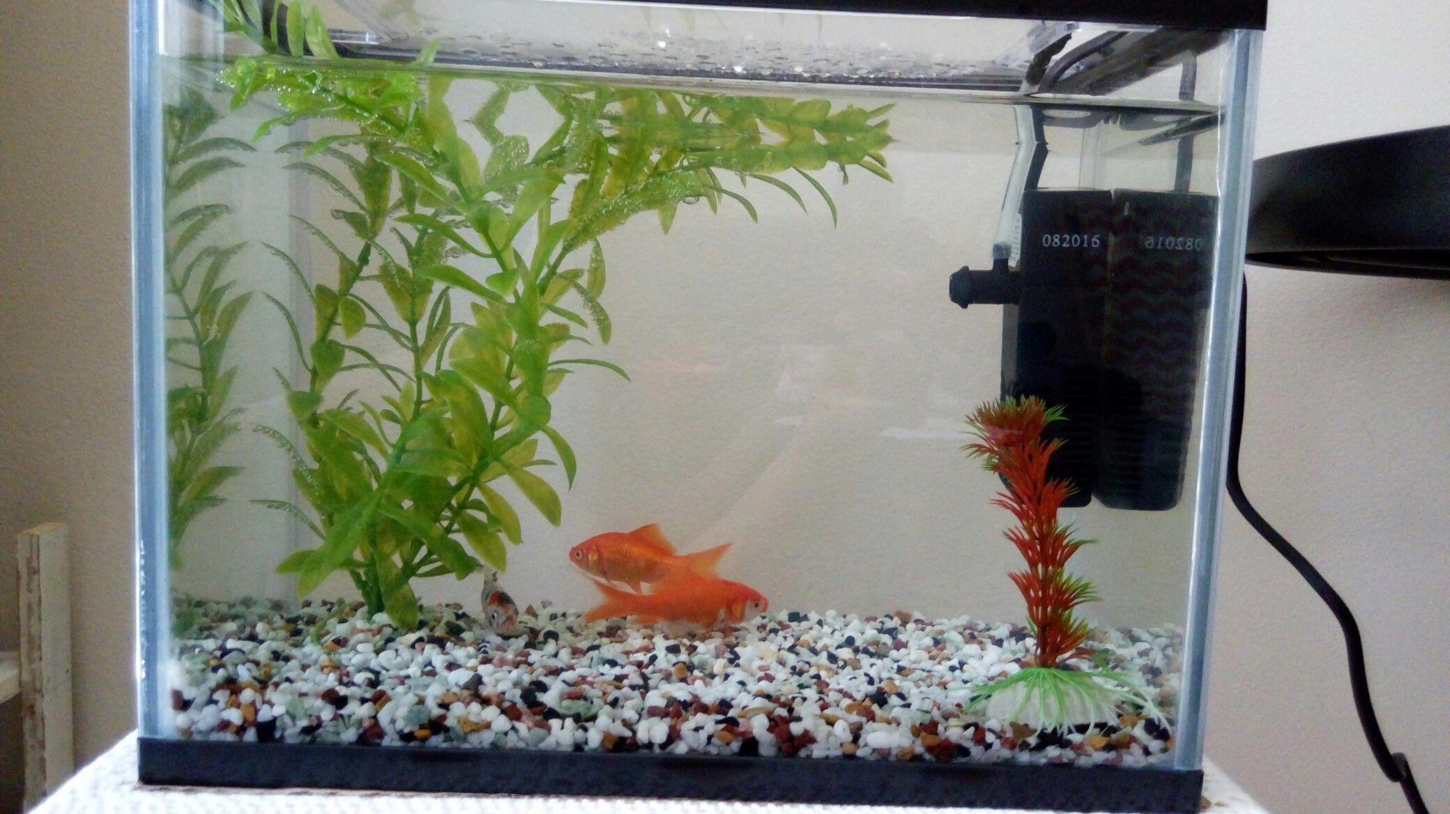 Goldfish pond species decor references - Goldfish Tank