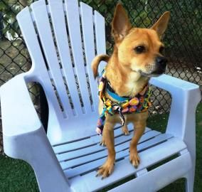 Petango Com Meet Crispin A 4 Years Chihuahua Short Coat Mix